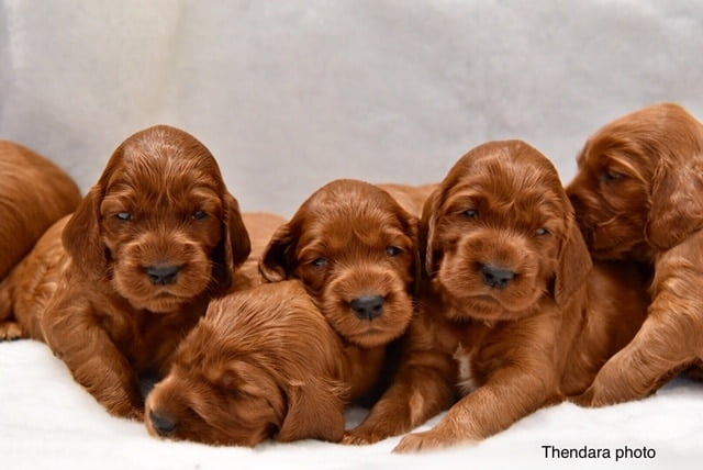 Thendara Irish Setter Puppies