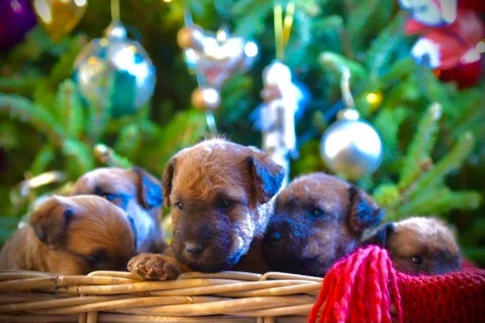 Xmas Puppies